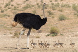 Ostrich (Struthio Camelus) Male with Chicks, Kgalagadi Transfrontier Park, Northern Cape Photographic Print by Ann and Steve Toon