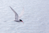 Adult Antarctic Tern (Sterna Vittata) in Flight with Fish in its Bill in the Enterprise Islands Photographic Print by Michael Nolan