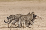 Cheetah (Acinonyx Jubatus) Dragging Baby Common Wildebeest Kill (Connochaetes Taurinus) to Cover Photographic Print by Ann and Steve Toon