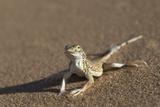 Shovel-Snouted Lizard (Meroles Anchietae), Namib Desert, Namibia, Africa Papier Photo par Ann and Steve Toon
