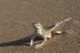 Shovel-Snouted Lizard (Meroles Anchietae), Namib Desert, Namibia, Africa Photographic Print by Ann and Steve Toon