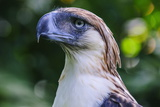Philippine Eagle (Pithecophaga Jefferyi) (Monkey-Eating Eagle), Davao, Mindanao, Philippines Photographic Print by Michael Runkel