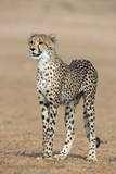 Cheetah Cub (Acinonyx Jubatus), Kgalagadi Transfrontier Park, Northern Cape, South Africa, Africa Photographic Print by Ann and Steve Toon