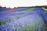 Lavender Field at Snowshill Lavender, the Cotswolds, Gloucestershire, England Photographic Print by Matthew Williams-Ellis