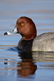 Redhead (Aythya Americana) Swimming, Clark County, Nevada, United States of America, North America Photographic Print by James Hager