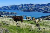 Cows Grazing Above the Akaroa Harbour, Banks Peninsula, Canterbury Photographic Print by Michael Runkel