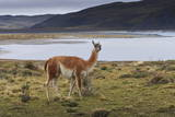 Guanaco (Lama Guanicoe) on Lake Foreshore,Torres Del Paine National Park, Patagonia Photographic Print by Eleanor Scriven