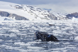 Humpback Whale (Megaptera Novaeangliae), Adult Spy-Hopping in Cierva Cove, Antarctica Photographic Print by Michael Nolan