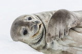 Weddell Seal (Leptonychotes Weddellii) Resting on Ice at Half Moon Island Photographic Print by Michael Nolan