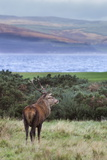 Red Deer Stag (Cervus Elaphus), Isle of Arran, Scotland, United Kingdom, Europe Photographic Print by Ann and Steve Toon