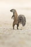 Ground Squirrel (Xerus Inauris) Standing Upright, Kgalagadi Transfrontier Park, Northern Cape Photographic Print by Ann and Steve Toon