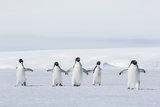 Adult Adelie Penguins (Pygoscelis Adeliae) Walking on First Year Sea Ice in Active Sound Photographic Print by Michael Nolan