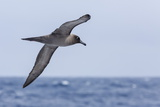 Adult Light-Mantled Sooty Albatross (Phoebetria Palpebrata) in Flight in the Drake Passage Photographie par Michael Nolan