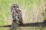 Ann and Steve Toon - Tawny Owl (Strix Aluco), Captive, United Kingdom, Europe Fotografická reprodukce