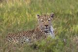 Leopard, Okavango Delta, Botswana, Africa Photographic Print by Angelo Cavalli