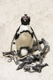 African Penguin Sitting on an Egg (Jackass Penguin), Foxy Beach, Boulders Beach National Park Photographic Print by Kimberly Walker
