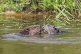 Eurasian Beavers (Castor Fiber), Captive in Breeding Programme, United Kingdom, Europe Photographic Print by Ann and Steve Toon