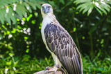 Philippine Eagle (Pithecophaga Jefferyi) (Monkey-Eating Eagle), Davao, Mindanao, Philippines Photographic Print by Michael Runkel