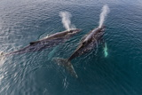 A Pair of Adult Humpback Whales (Megaptera Novaeangliae) Fotografisk tryk af Michael Nolan