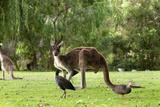 Kangaroos, Yenchep National Park, Western Australia, Australia, Pacific Photographic Print by Lynn Gail