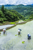 People Harvesting in the Rice Terraces of Banaue, Northern Luzon, Philippines, Southeast Asia, Asia Photographic Print by Michael Runkel