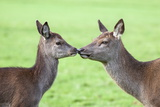 Red Deer Hind with Young (Cervus Elaphus), Arran, Scotland, United Kingdom, Europe Photographic Print by Ann and Steve Toon