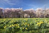 Markus Lange - Cherry Blossom and Narcissi Blossom, Palace Garden, Schloss Schwetzingen Palace - Fotografik Baskı