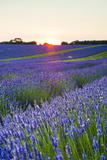 Lavender Field at Snowshill Lavender, the Cotswolds, Gloucestershire, England Fotografisk trykk av Matthew Williams-Ellis