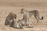 Cheetah (Acinonyx Jubatus) Killing Baby Common Wildebeest (Connochaetes Taurinus) Photographic Print by Ann and Steve Toon