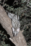 Small Spotted Genet (Genetta Genetta), Kgalagadi Transfrontier Park, South Africa, Africa Fotografisk tryk af Ann and Steve Toon