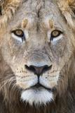 Lion (Panthera Leo), Mountain Zebra National Park, Eastern Cape, South Africa, Africa Fotografisk tryk af Ann and Steve Toon