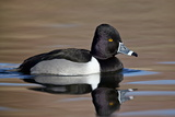 Ring-Necked Duck (Aythya Collaris) Swimming, Clark County, Nevada, Usa Photographic Print by James Hager