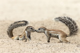 Ground Squirrels (Xerus Inauris) Greeting, Kgalagadi Transfrontier Park, Northern Cape Photographic Print by Ann and Steve Toon