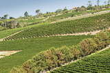 Graphic Lines of Green Sloped Vineyards and Autumn Trees in Cape Peninsula, Cape Town, South Africa Photographic Print by Kimberly Walker
