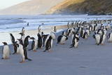 Gentoo Penguins (Pygoscelis Papua) on Beach with Rolling Waves Photographic Print by Eleanor Scriven
