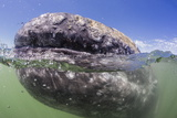 California Gray Whale (Eschrichtius Robustus) Approaching Zodiac Underwater in Magdalena Bay Photographic Print by Michael Nolan