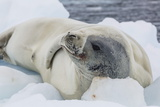 Adult Crabeater Seal (Lobodon Carcinophaga) Hauled Out on Ice Floe, Neko Harbor, Andvord Bay Photographic Print by Michael Nolan