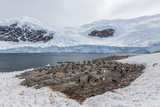Gentoo Penguin (Pygoscelis Papua) Breeding and Nesting Colony at Neko Harbour Photographic Print by Michael Nolan