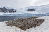 Gentoo Penguin (Pygoscelis Papua) Breeding and Nesting Colony at Neko Harbour Photographic Print by Michael Nolan