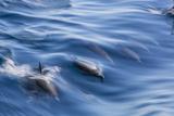 Long-Beaked Common Dolphin (Delphinus Capensis) Photographic Print by Michael Nolan