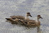 Pair of Patagonian Crested Ducks (Lophonetta Specularioides) in Courtship Behaviour Photographic Print by Eleanor Scriven
