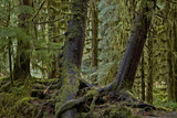 Moss-Covered Tree Trunks in the Rainforest, Olympic National Park, Washington State, Usa Photographic Print by James Hager