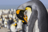 Adult King Penguin (Aptenodytes Patagonicus) at Breeding Colony at St. Andrews Bay Photographic Print by Michael Nolan