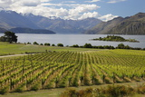 Rippon Vineyard on Lake Wanaka, Wanaka, Otago, South Island, New Zealand, Pacific Photographic Print by Stuart Black