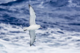 Adult Southern Fulma (Fulmarus Glacialoides) in Flight at Coronation Island Photographic Print by Michael Nolan