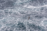 Adult Cape Petrel (Daption Capense) Flying in Gale Force Winds in the Drake Passage Photographic Print by Michael Nolan