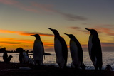 King Penguin (Aptenodytes Patagonicus) Silhouetted at Sunrise at Breeding Colony at Gold Harbor Photographic Print by Michael Nolan