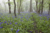 Bluebell Wood in Morning Mist, Lower Oddington, Cotswolds, Gloucestershire, United Kingdom, Europe Photographic Print by Stuart Black
