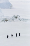 Emperor Penguins (Aptenodytes Forsteri) Marching across Sea Ice on Snow Hill Island Photographic Print by Michael Nolan