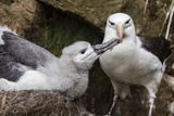 Black-Browed Albatross (Thalassarche Melanophris) Chick in Nest Being Fed by Adult Photographic Print by Michael Nolan
